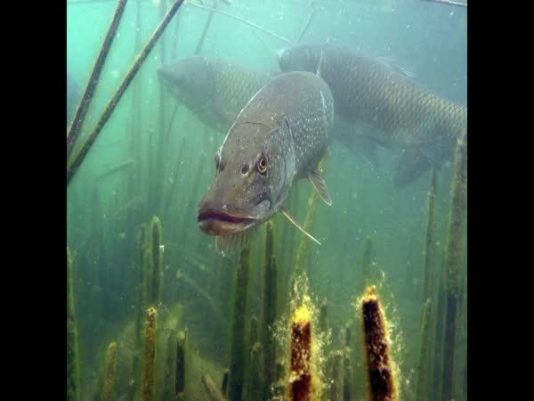 Jak to vypadá při rybaření pod vodou [kompilace]