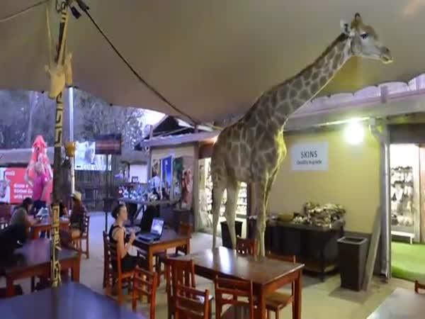 Žirafa v africkém baru