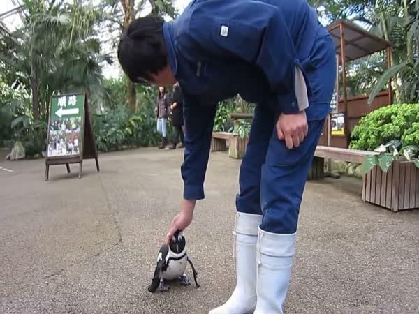Tučňák pronásleduje ošetřovatele