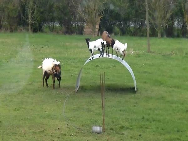 Skotačící kozy a kůzlata