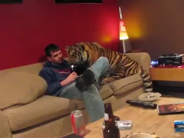 Tygr jako domácí mazlíček