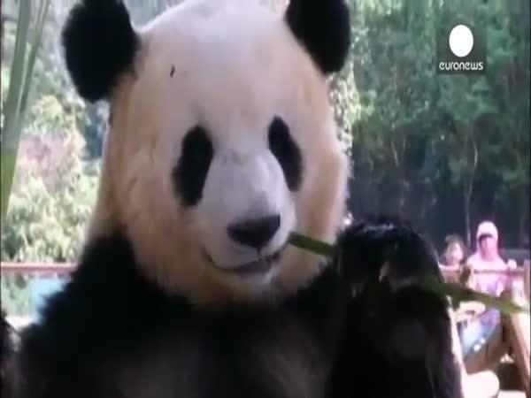 Jak zlepšit osamělé pandě náladu?