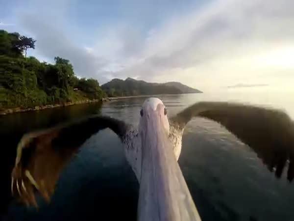 Pelikán se učí létat