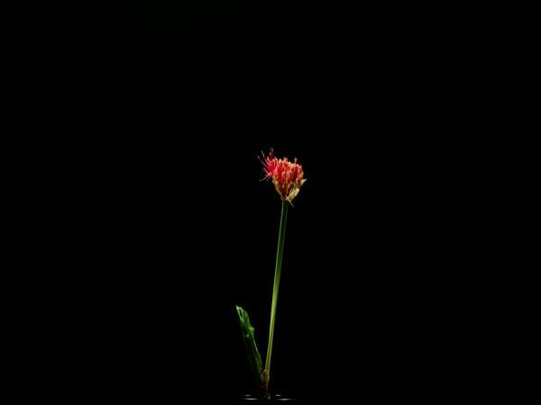 Timelapse - Růst krvokvětu