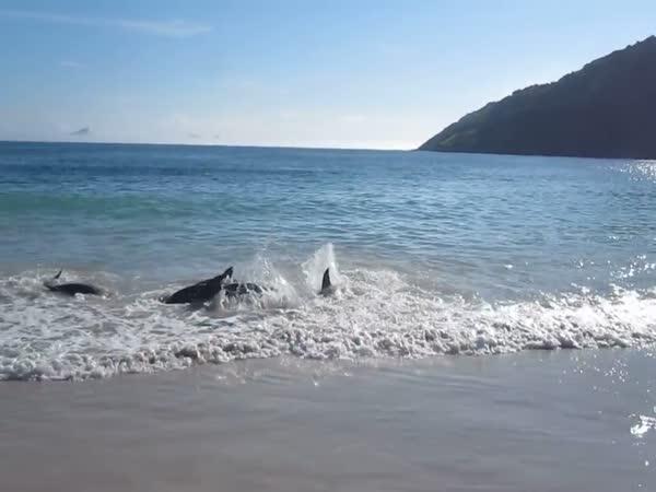 Delfíni vyplavali na pobřeží