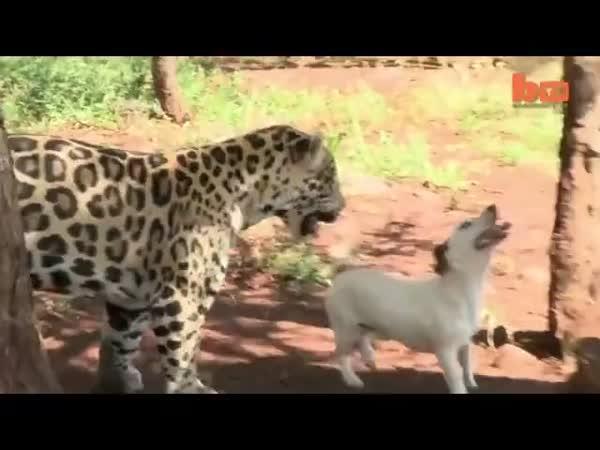 Nejlepší kamarádi - jaguár a pes