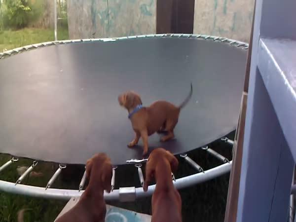 Jezevčík řádí na trampolíně