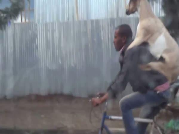 Koza jako batoh