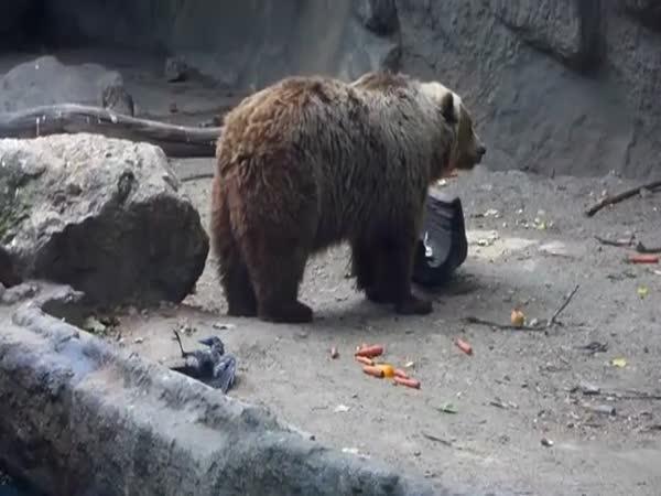 Medvěd zachánil vránu před utonutím