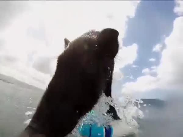 Surfující prase