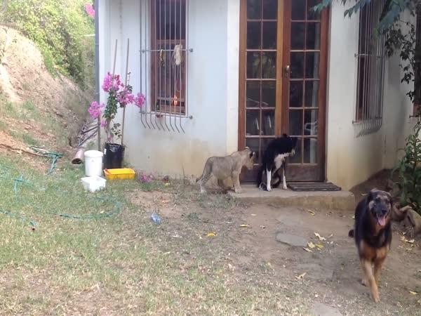 Lvíče versus pes