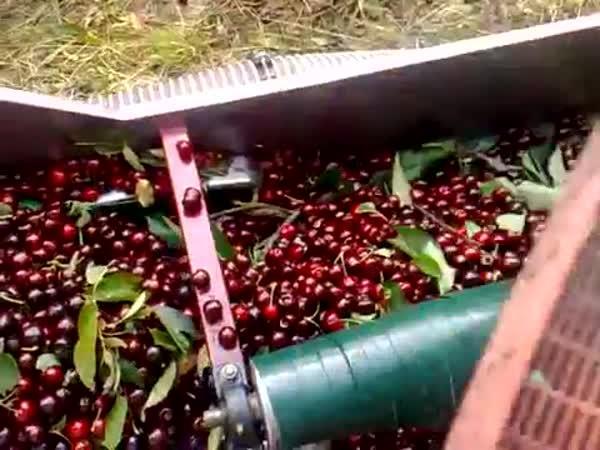 Jak se sbírají třešně