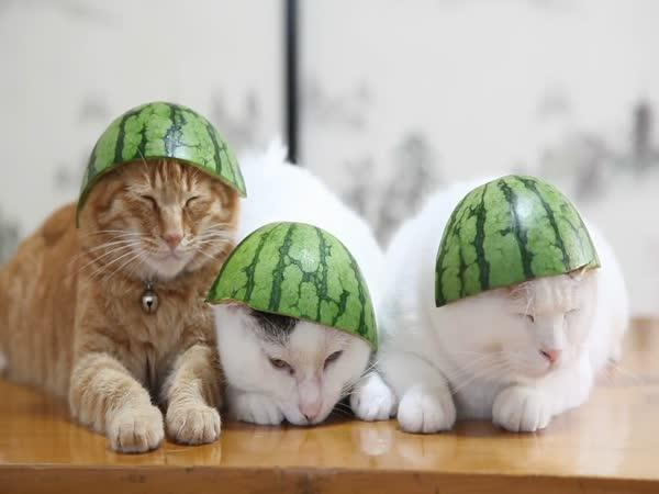 Kočičí melounoví vojáci