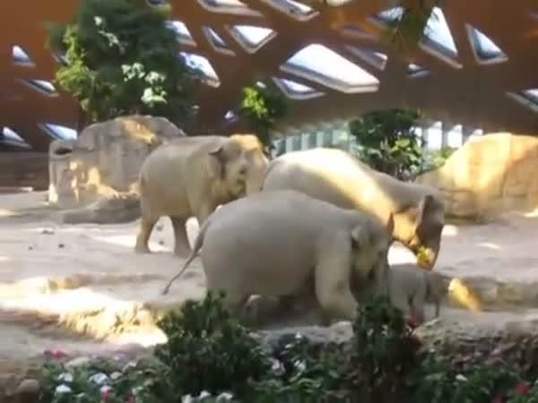 Sloní rodičovská pomoc