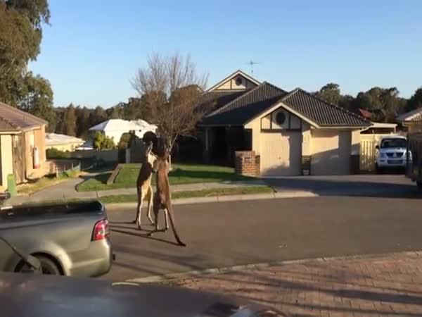 Klokaní bitka na ulici - Austrálie