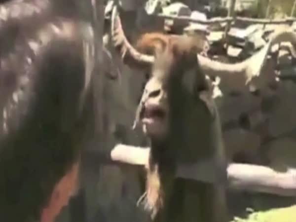 Star War Goats - Hvězdné kozy
