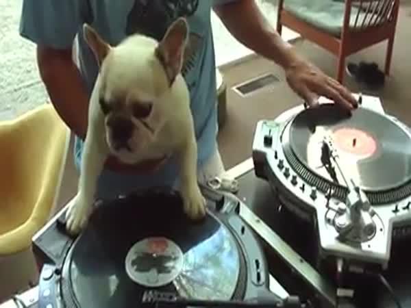 Bulldog za mixovacím pultem