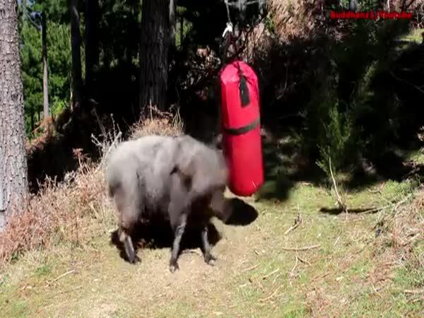 Beran vs. boxovací pytel