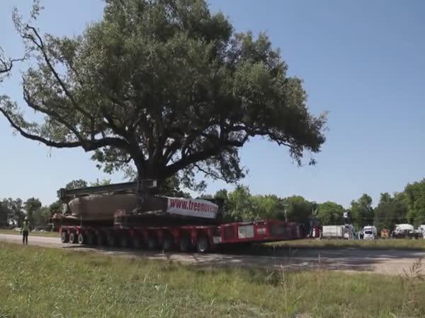 Přesazování 150 letého dubu
