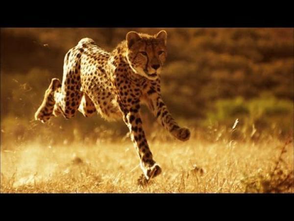 Proč je gepard tak rychlý?