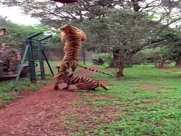Krmení divokých tygrů