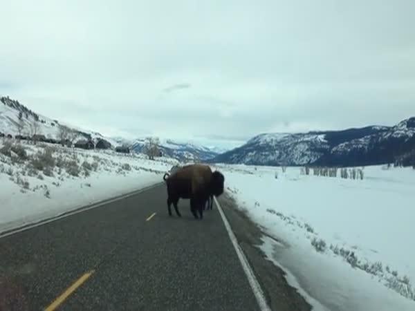Nehoda - Srážka s bizonem