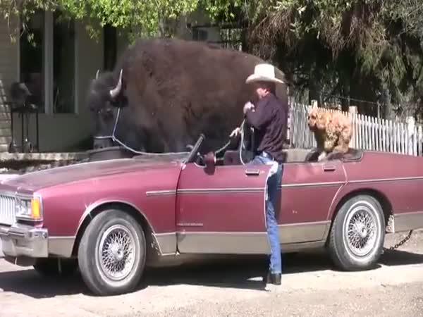 Převoz buvola autem