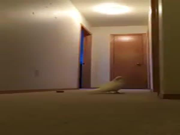 Splašený Kakadu