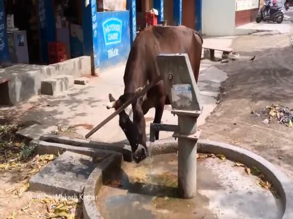 Inteligentní krávy