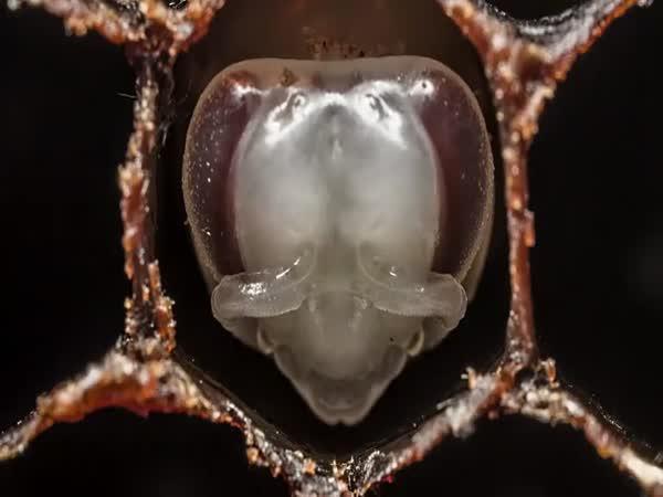 Časosběrné video - Narození včely