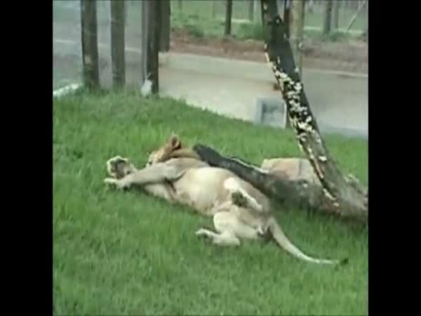 Lev poprvé po 13 letech v přírodě
