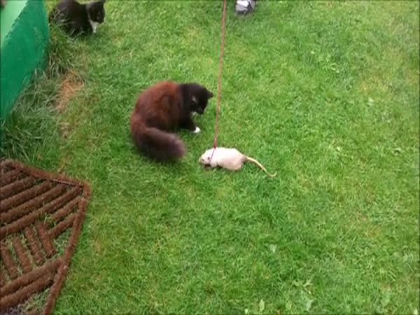 Kočka poprvé vidí potkana