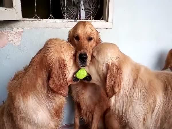 Když se retrívři hádají o míček