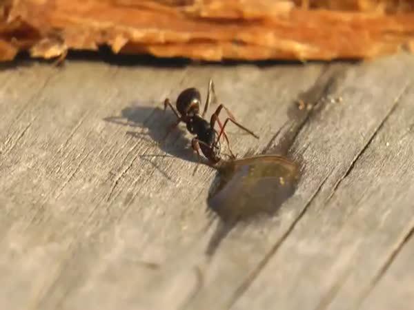 Mravenec vs. kapka vodky