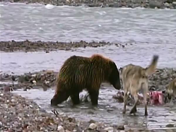 Hladový Grizzly vs. 4 vlci