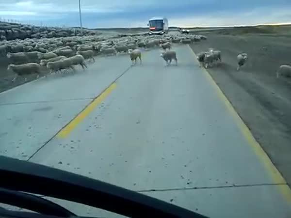 Ovčí zácpa na silnici