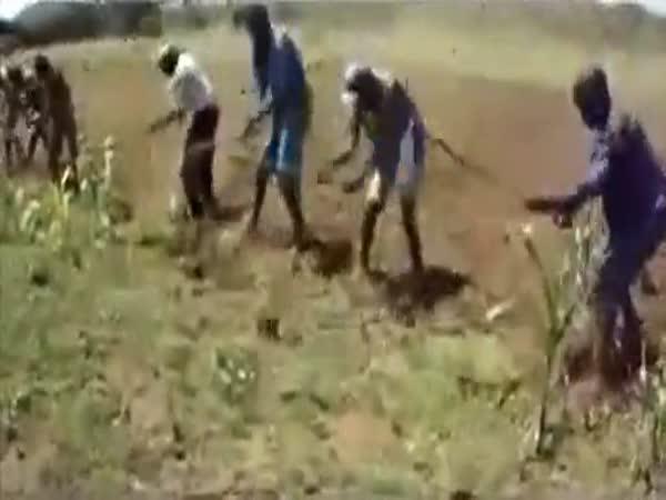 Rytmická práce na kukuřičném poli