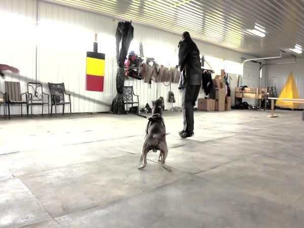 Profesionální trénink pitbulla