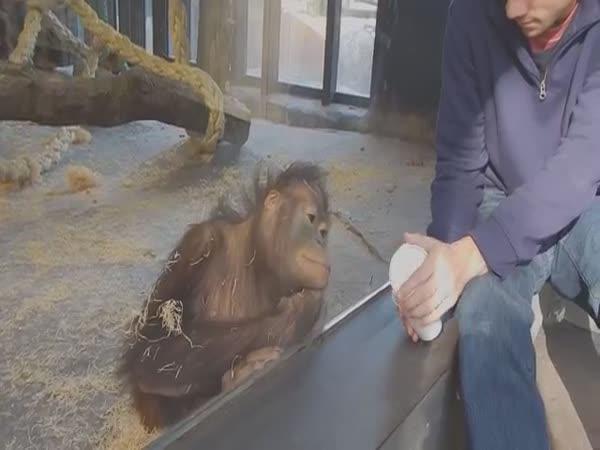 Orangutan sledující kouzlo