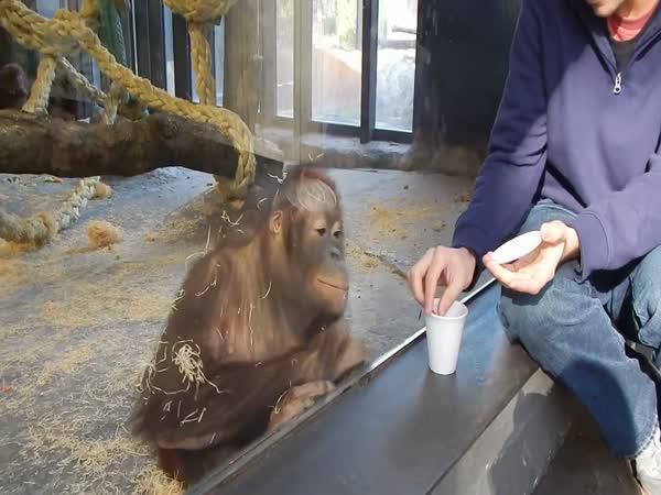 Jak rozesmát orangutana