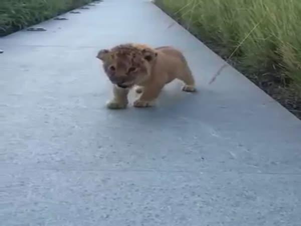 Lvíče se pokouší poprvé zařvat