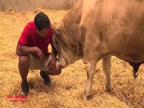 Osvobozený býk