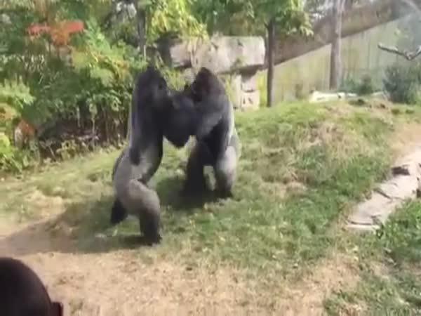 Když se u nás gorily poperou