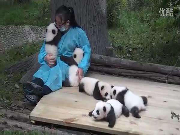Opravdová práce - objímání pandích mláďat