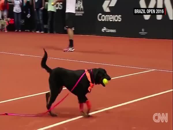 Tenis - Psi jako sběrači míčků