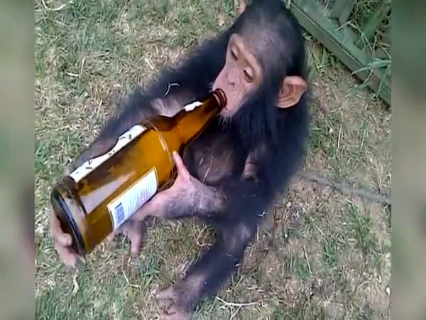 Opilý šimpanz