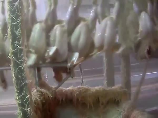 Výroba kuřecích prsou pozpátku