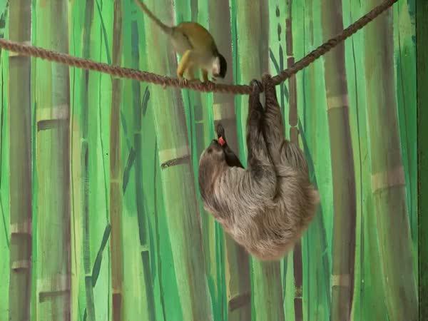 Jak opička naštvala lenochoda