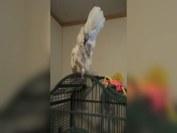 Kakadu si čistí zuby