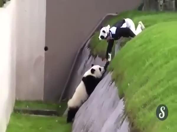 Opilá panda si dala do čumáku